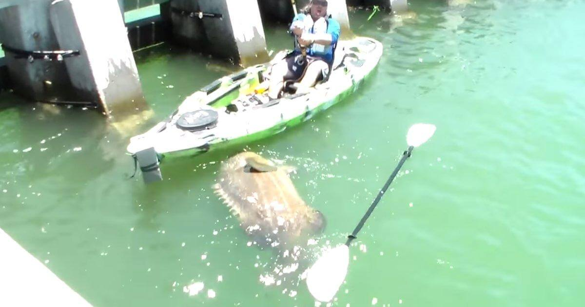 Cape Coral's Giant Grouper